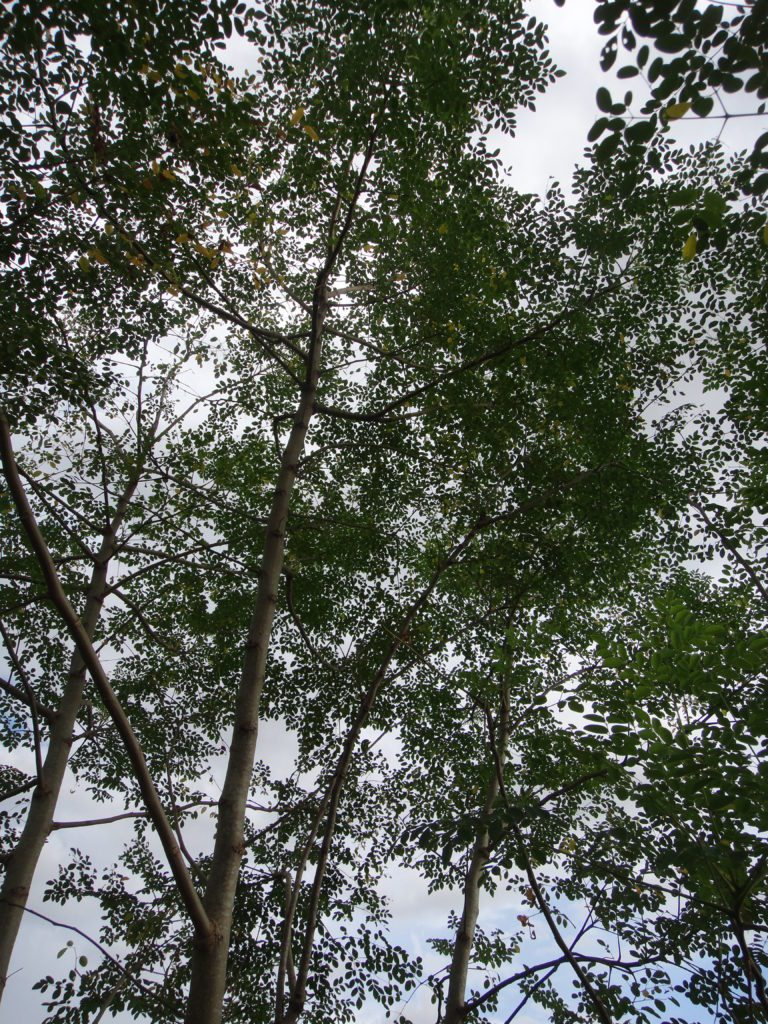 Organic Moringa Trees Growing Wildly in Rainy Season