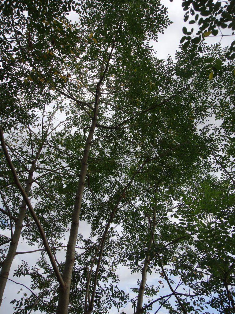 Organic Moringa Trees Growing Wildly in Rainy Season